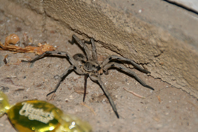 the biggest wolf spider I have ever seen, sitting in our breezeway
