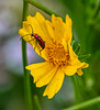 Insect on Coreopsis