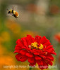 Bumblebee and zinnia; best viewed in the largest size