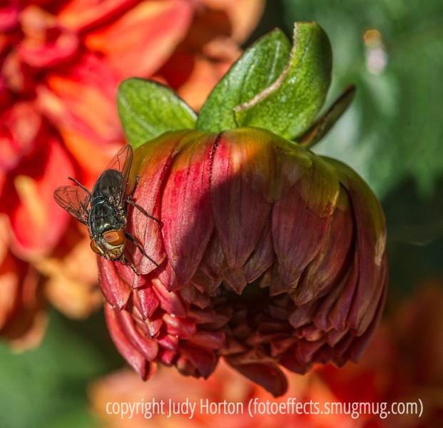 Fly on a Dahlia Bud