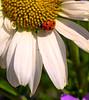 Ladybug on a Shasta Daisy