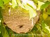 Paperwasp Nest