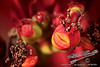 by Jack Foster Mancilla - LensLord™<br /> TightPoinsettia