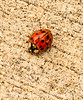 Injured Asian Ladybug