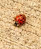 Injured Asian Ladybug