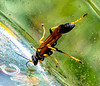 Wasp in the Hummingbird Feeder
