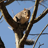 Ritter Park, Huntington WV, Squirrel with Peanut safe in the trees