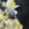Argiopes Garden Spider hanging in web, Lawrenceville GA