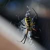 Argiopes: Garden Spider Lawrenceville, GA