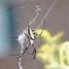Garden Spider (Argiopes) Lawrenceville GA