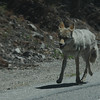 Yellowstone coyote trotting down the road