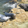 Seals gather near Big Sur California