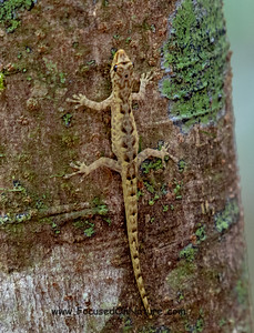 6. Dwarf Gecko - Species ?