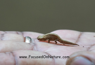 5. ID'd by guide as Brookesia minima but that's not found at Amber Mtn