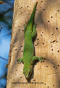 8. Phelsuma madagascariensis - Almost as large as Phelsuma Grandis
