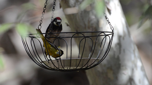 Scott's Oriole and Acorn Woodpecker