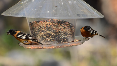 Seed feeder activity at Madera Canyon.  Black-headed grosbeak, Lazuli Bunting. Mexican Jay