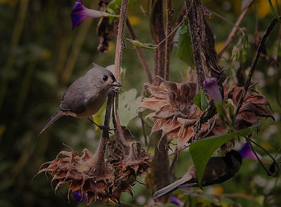 Tufted Titmice on the sunflowers
