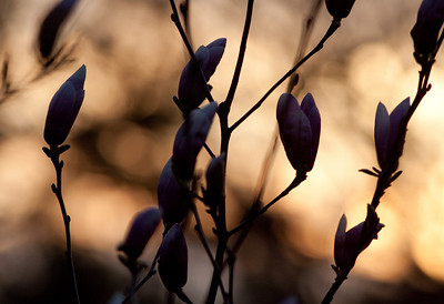 Magnolia and Birds