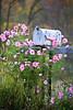 Rural Mailbox Nestled in Pink Cosmos, Sauk County, Wisconsin