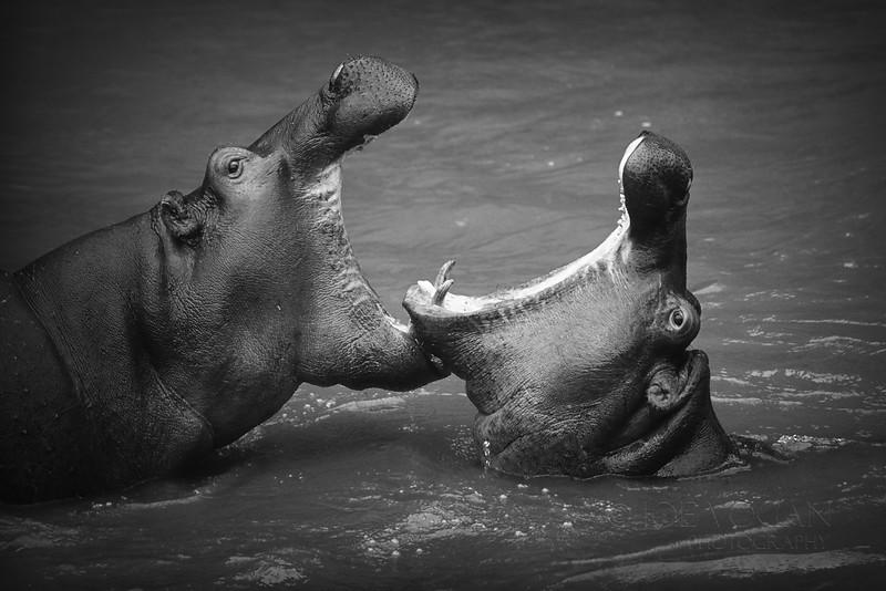 Hippopotamus, Mara River, Masai Mara National Reserve, Kenya