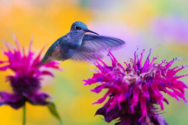 hummingbirdyellowbackground