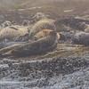 harbor seal haulout, Tatoosh Island, WA, 2013