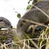 river otters investigate a nutria, Ridgefield NWR, WA, 1/08/2014