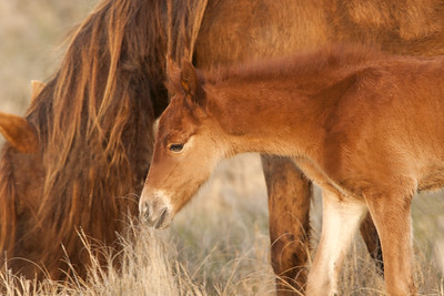 Chincoteague Pony Foal with Mother