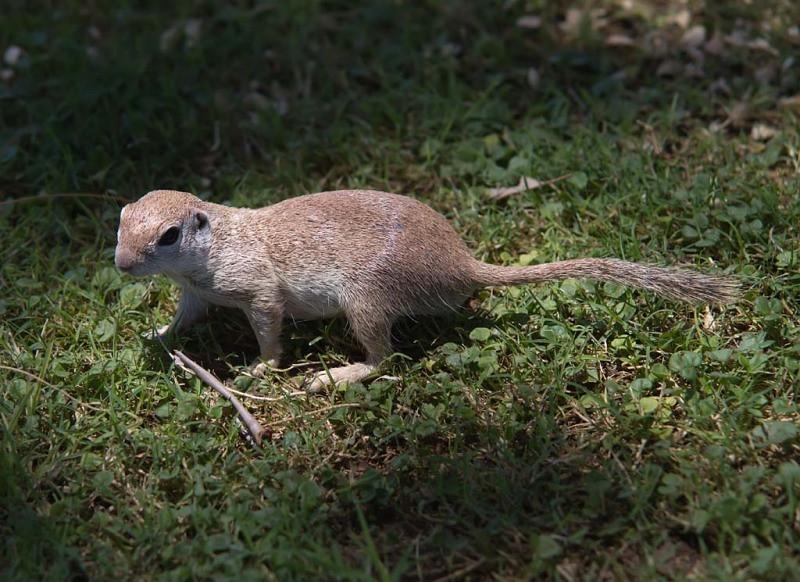 Round Tailed Ground Squirrel