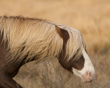 Chincoteague Pony Stallion - Riptide