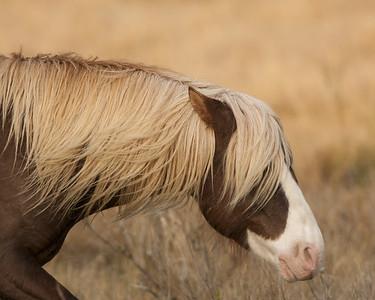 Chincoteague Pony Stallion - Riptide