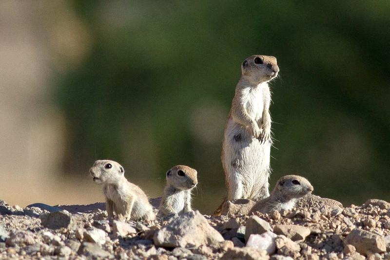 IMAGE: http://icassell.smugmug.com/Other/Mammals/i-WzLtRWs/0/L/IMG6326-Edit-L.jpg