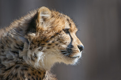 Cheetah Cub - (Captive)