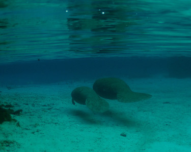 Manatees of Crystal River -- April 2013