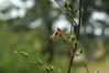 Bee on bee plant