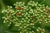 Red elderberry - Sambucus racemosa