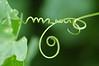 Tendril of Wild cucumber - Marah fabaceus