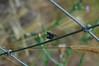 Amorous flies on fence - insectus amoroso