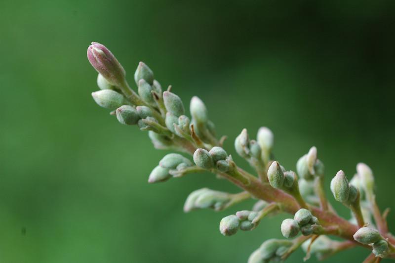 Buckeye flower buds