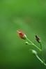 California bee plant - Scrophularia californica