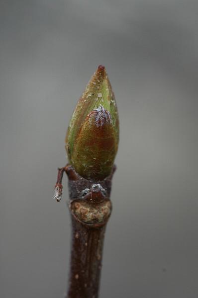 Buckeye leaf bud awaits spring.