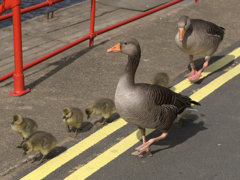 Proud parents with their new brood down by the riverside in York