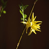 forsythia in natural light