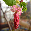 Flowering redcurrants in our garden