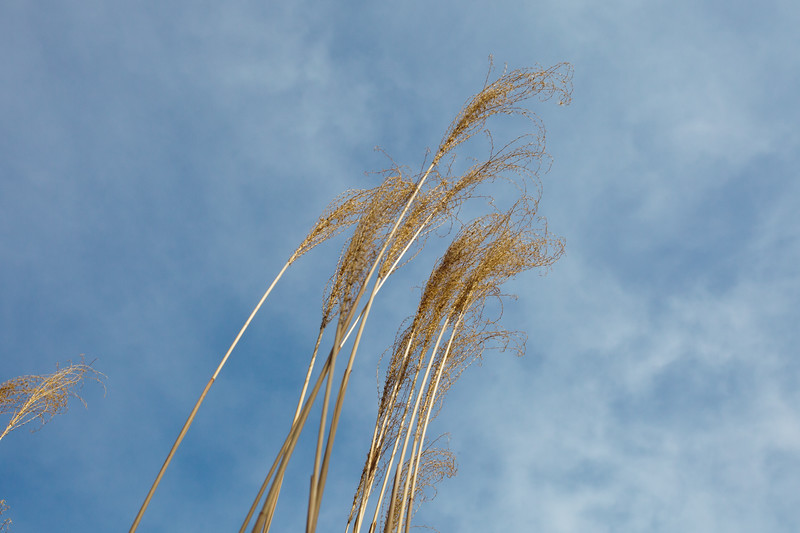 miscanthus and winter sky