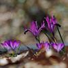iris and crocus