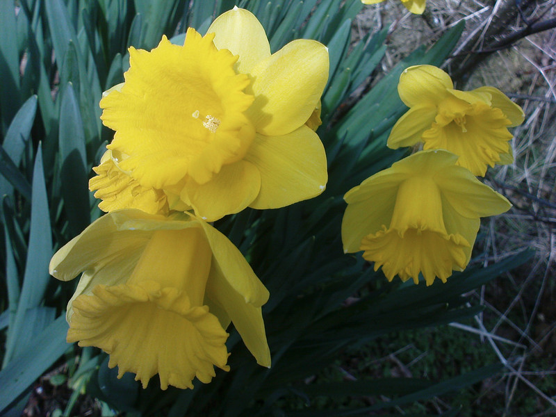 First daffodils by the roadside on my morning walk