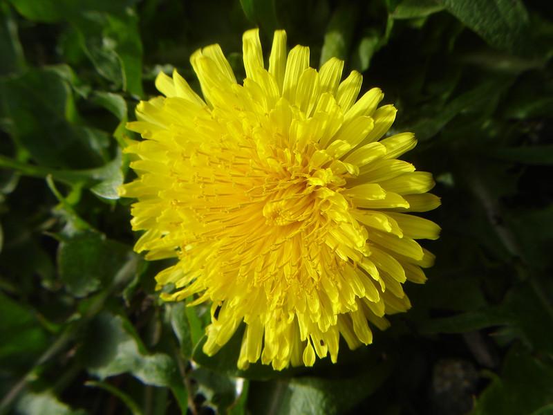 First dandelion in the garden