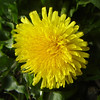 First dandelion in the garden
